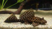 Птеригоплихт: фото, описание, содержание в аквариуме