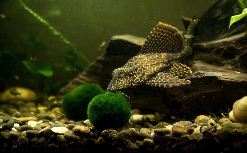 Сомик плавает