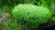 Риччия: фото, описание, содержание растения в аквариуме