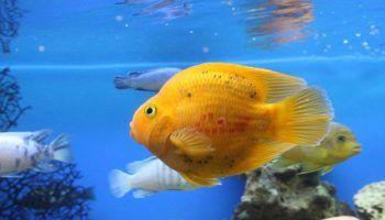 Рыба-Попугай: виды, фото, содержание в аквариуме