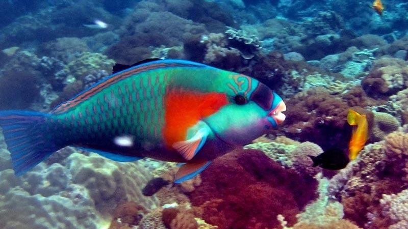 Яркая Рыба-Попугай