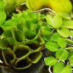 Зеленая Сальвиния