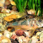 Сомик плавает по аквариуму