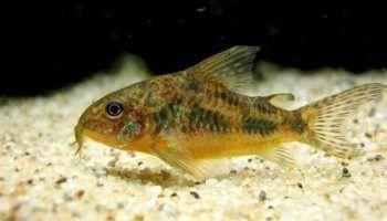 Крапчатый сом: фото, описание, содержание в аквариуме