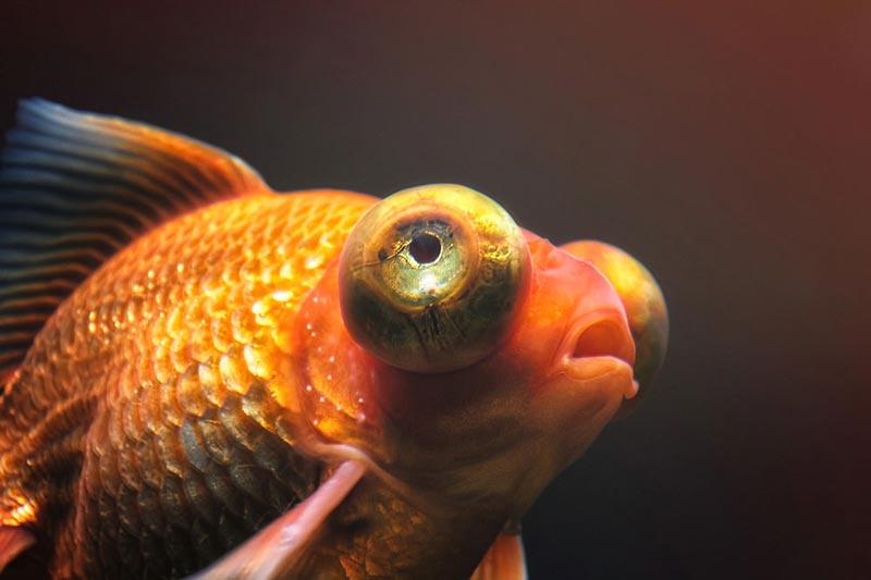 Картинки рыбы телескопик