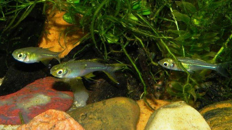 Рыбки Тельматерины