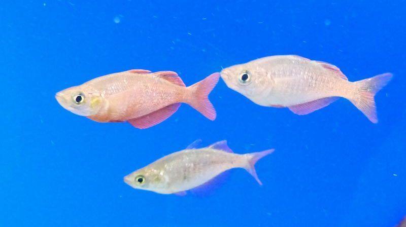 Рыбки Тельматерины в аквариуме
