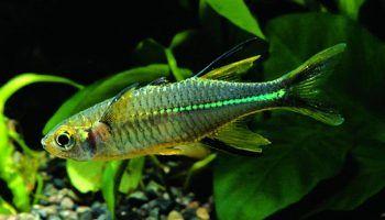 Тельматерина Ладигеза: фото, описание, содержание в аквариуме