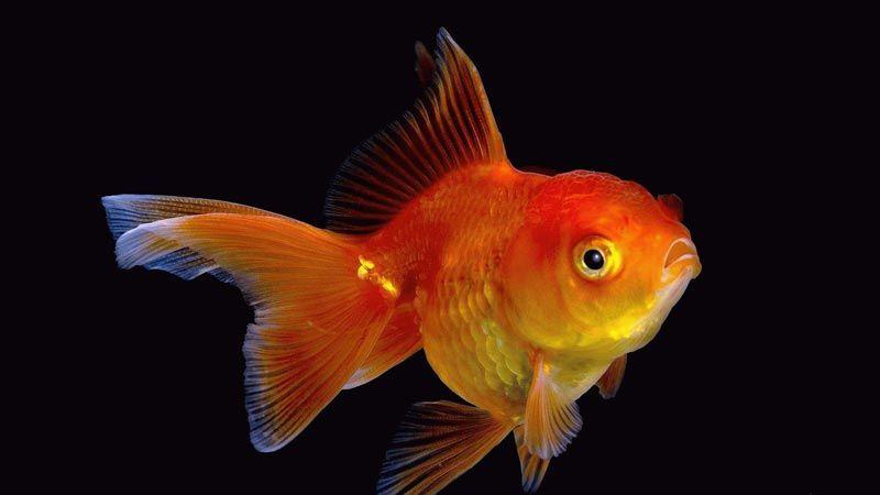 Рыбка на черном фоне