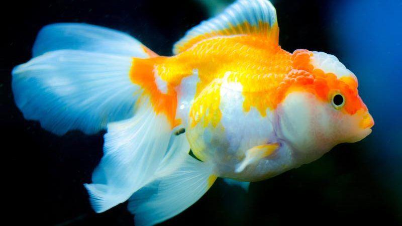 Бело-оранжевая рыбка