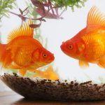 Две золотых рыбки в аквариуме