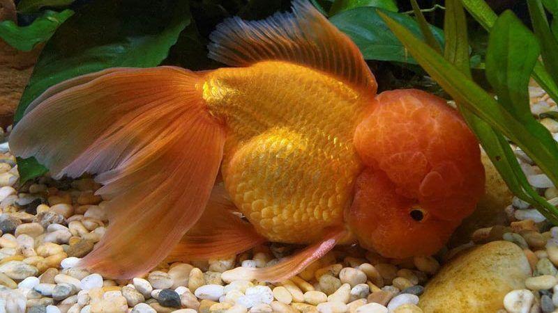 Пузатая рыбка