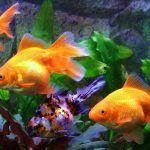 Рыбки плавают в аквариуме