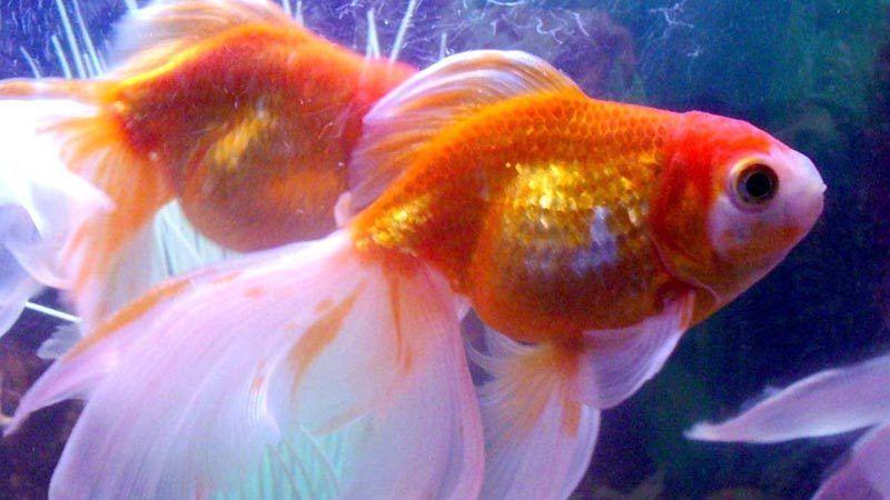 Большое брюшко у рыбки