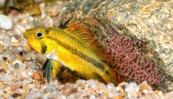 16 видов аквариумных Апистограмм с фото и описанием, содержание