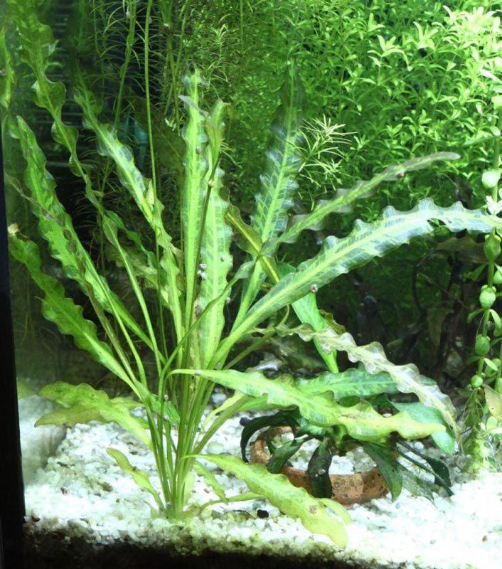 Зеленый Апоногетон