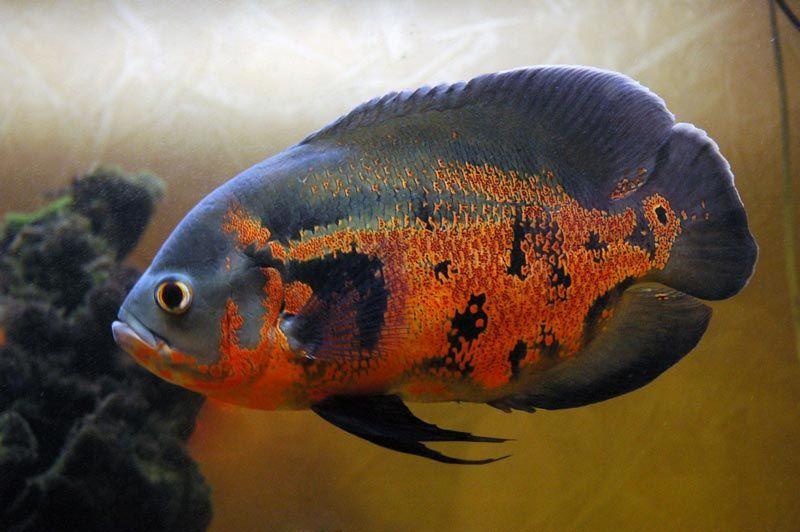 Черно-оранжевый Астронотус