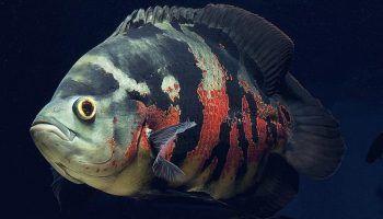 Астронотус: 7 видов, фото, содержание в аквариуме