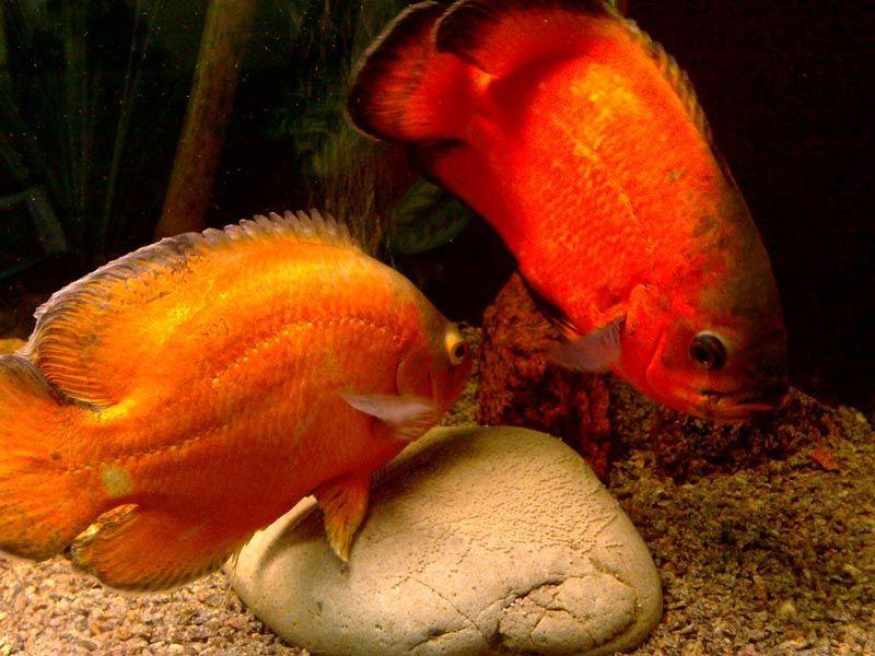 Две рыбки Астронотуса