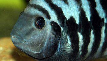 Чернополосая Цихлазома: фото, описание, содержание и совместимость с другими рыбами
