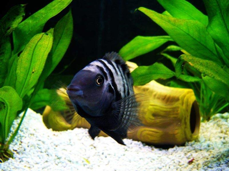 Плавает по аквариуму