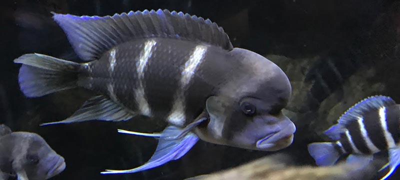 Полосатая синяя рыбка