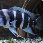 Синие полоски у рыбки