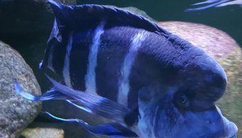Цифотиляпия Фронтоза: 11 видов, фото, содержание в аквариуме