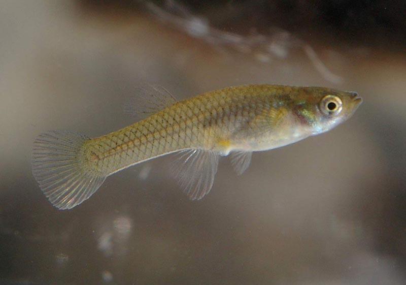 Рыбка Гамбузия