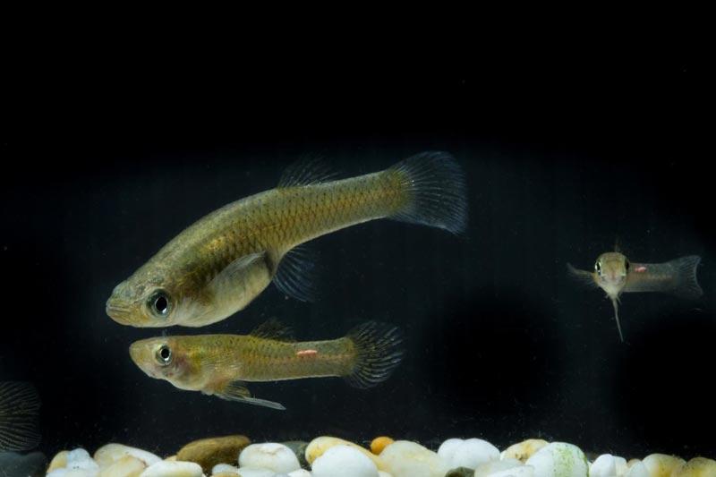 Три рыбки Гамбузии
