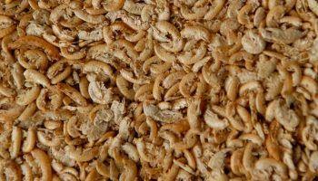 Гаммарус: корм для рыб, улиток и черепах и его разведение