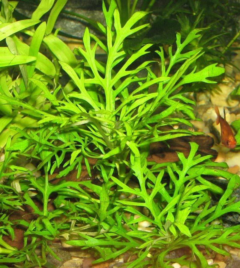 Зеленые листики Гигрофилы