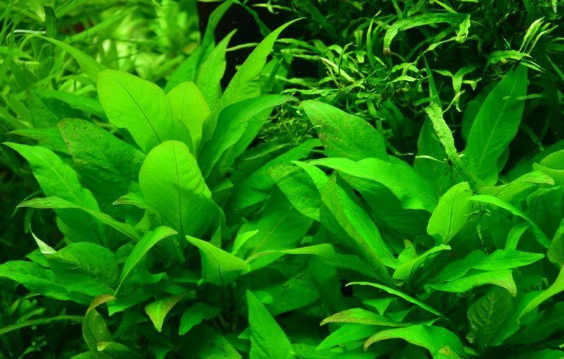Широкие листья у Гигрофилы