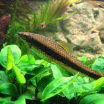 Гиринохейлус коричневый