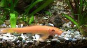 Гиринохейлус: 6 видов рыбы, фото, содержание