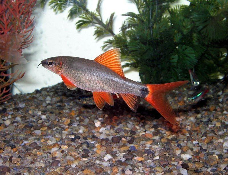 Серебристо-оранжевый Лабео