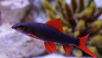 Рыбки Лабео