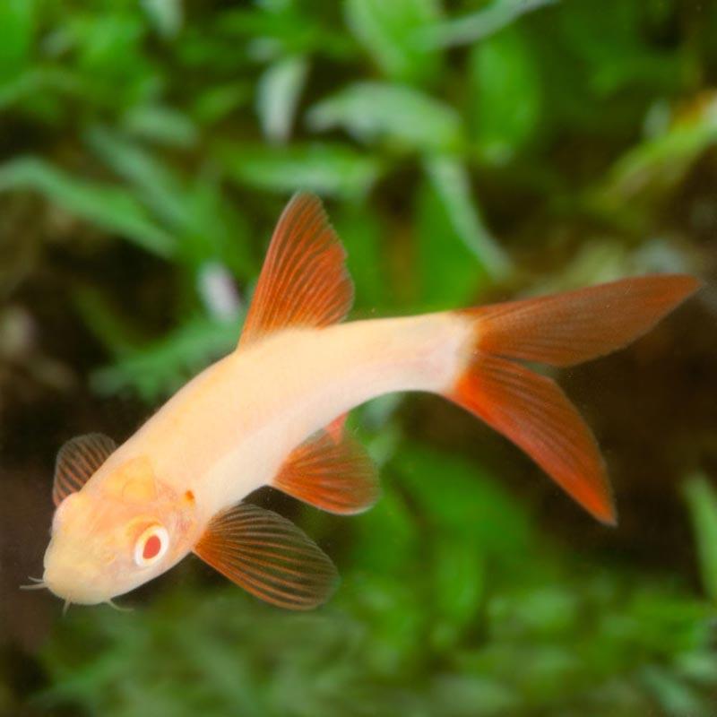 Лабео-альбинос в аквариуме