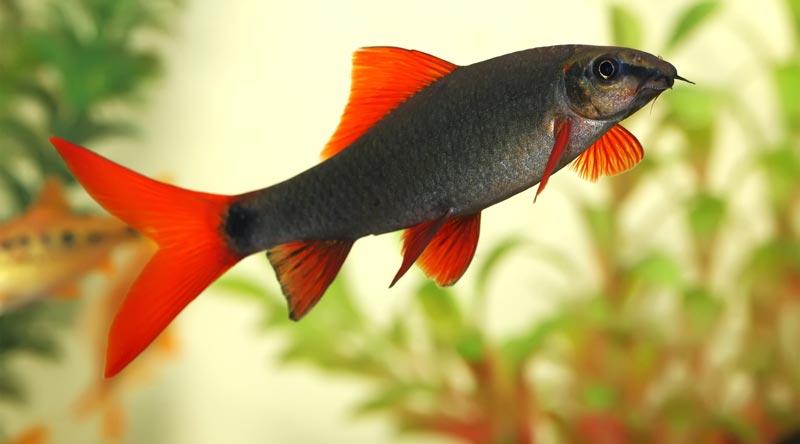 Лабео плавает в аквариуме