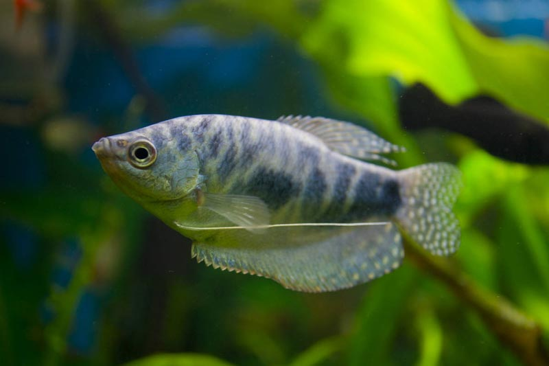 Серая рыбка