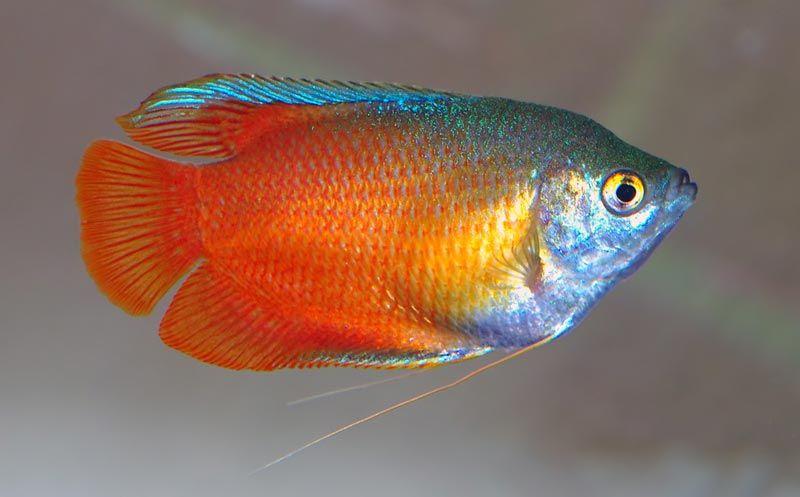 Оранжево-голубая Лабиринтовая рыбка