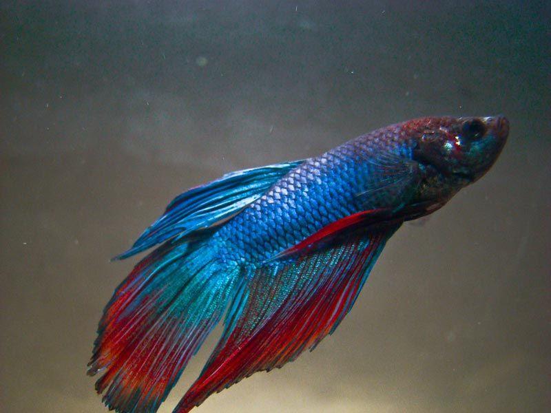 Вуалевый хвост у Лабиринтовой рыбки