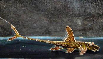 Лорикария: виды сома, фото, содержание в аквариуме