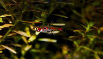 16 видов Микрорасбор, фото и описание