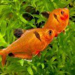 Рыбки Миноры плавают
