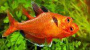 Рыбка Минор в аквариуме