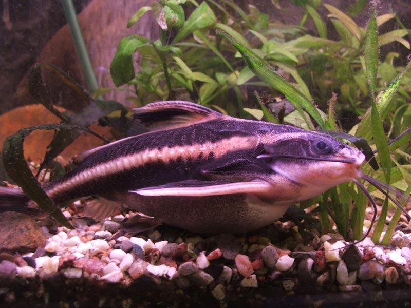 Полосатый Платидорас в воде