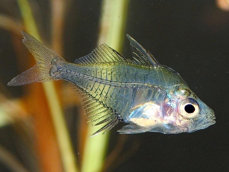 Стеклянная рыбка