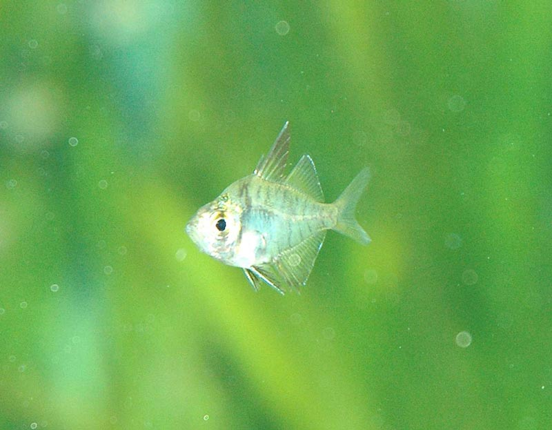 Прозрачная стеклянная рыбка в воде