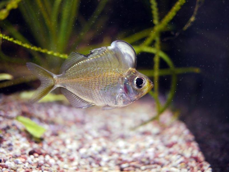 Большой лобик у рыбки